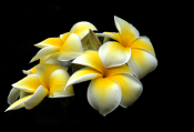 hawaiian-flowers for WP Ad